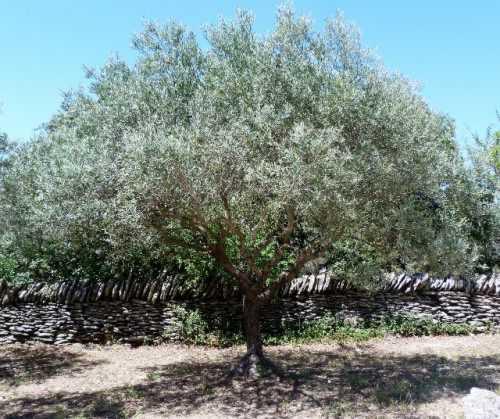 Complainte de l olivier